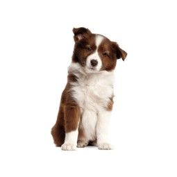 KEK Amsterdam Border Collie Puppy muursticker