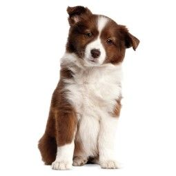 KEK Amsterdam Border Collie Puppy XL muursticker